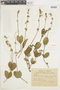 Salvia ovalifolia A. St.-Hil. ex Benth., PARAGUAY, F