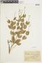 Salvia ovalifolia A. St.-Hil. ex Benth., ARGENTINA, F
