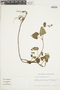 Salvia palifolia Kunth, VENEZUELA, F