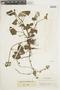 Salvia palifolia Kunth, COLOMBIA, F