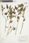 Salvia pallida Benth., ARGENTINA, F