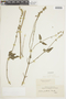 Salvia pallida Benth., URUGUAY, F