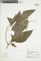 Salvia pauciserrata Benth., Peru, V. Quipuscoa S. 2054, F