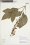 Salvia pauciserrata Benth., Peru, V. Quipuscoa S. 2193, F