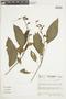 Salvia pauciserrata Benth., COLOMBIA, F
