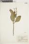 Salvia pauciserrata Benth., ECUADOR, F
