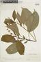 Salvia pauciserrata Benth., VENEZUELA, F