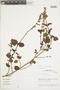 Salvia pavonii Benth., Peru, M. O. Dillon 4546, F