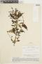 Salvia pichinchensis Benth., ECUADOR, F