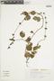 Salvia procurrens Benth., BRAZIL, F