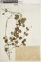Salvia procurrens Benth., URUGUAY, F