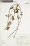 Salvia punctata Ruíz & Pav., PERU, A. Sagástegui A. 10663, F