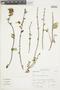 Salvia punctata Ruíz & Pav., Peru, S. Leiva G. 59, F