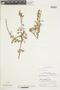 Salvia punctata Ruíz & Pav., Peru, P. C. Hutchison 5177, F