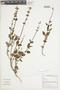 Salvia punctata Ruíz & Pav., Peru, M. Binder 99/191, F