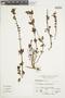Salvia punctata Ruíz & Pav., Peru, A. Sagástegui A. 11532, F