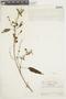 Salvia quitensis Benth., ECUADOR, F