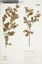 Salvia regnelliana Briq., BRAZIL, F