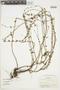Salvia riparia Kunth, COLOMBIA, F