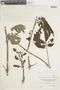 Salvia rubescens Kunth, COLOMBIA, F