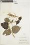 Salvia rubescens Kunth, VENEZUELA, F