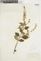 Salvia rufula Kunth, COLOMBIA, F