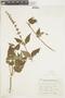 Salvia rypara Briq., ARGENTINA, F
