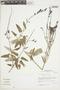 Salvia sagittata Ruíz & Pav., Peru, J. M. Cabanillas S. 456, F