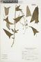 Salvia sagittata Ruíz & Pav., Peru, A. Sagástegui A. 11834, F