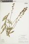 Salvia scabrida Pohl, BRAZIL, F