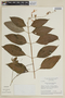 Salvia fruticetorum Benth., BRAZIL, F