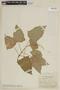 Salvia funckii Briq., COLOMBIA, F