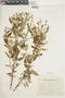 Salvia gilliesii Benth., ARGENTINA, F