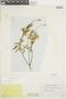 Salvia humboldtiana F. Dietr., ECUADOR, F