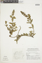Salvia lachnostachys Benth., BRAZIL, F