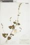 Salvia lasiocephala Hook. & Arn., COLOMBIA, F