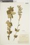 Salvia leucocephala Kunth, ECUADOR, F