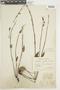 Salvia nervosa Benth., BRAZIL, F