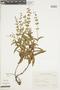 Salvia nervosa Benth., ARGENTINA, F