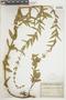 Salvia nervosa Benth., PARAGUAY, F