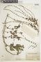 Salvia occidentalis image