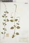 Salvia occidentalis Sw., COLOMBIA, F