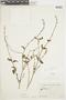 Salvia occidentalis Sw., ECUADOR, F