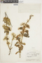 Salvia ochrantha Epling, ECUADOR, F