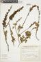 Salvia ochrantha Epling, Peru, S. Llatas Quiroz 1353, F
