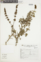 Salvia ochrantha Epling, Peru, S. Llatas Quiroz 8922, F