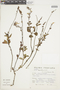 Salvia oppositiflora Ruíz & Pav., Peru, S. Llatas Quiroz 1179, F