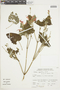 Salvia oppositiflora Ruíz & Pav., Peru, J. Santisteban 90, F
