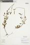 Salvia oppositiflora Ruíz & Pav., Peru, N. Dostert 98/11, F