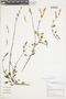 Salvia oppositiflora Ruíz & Pav., Peru, M. Binder 99/193, F